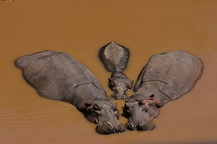 Synchroneous swimming hippopotamuses